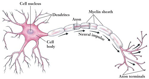 motor neurons gcse psychology