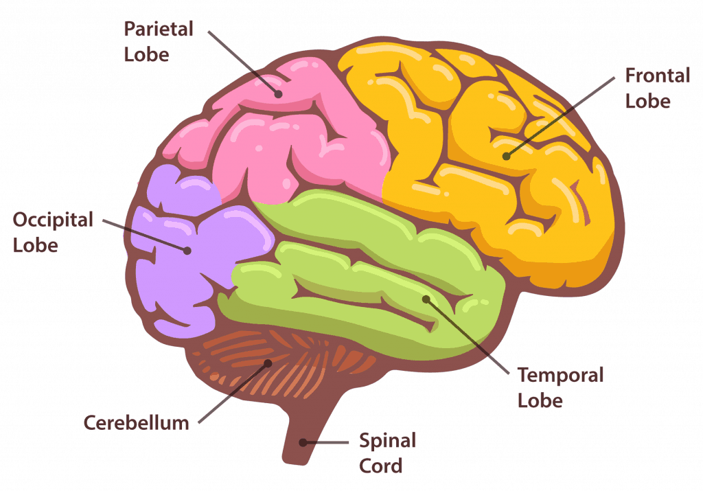 structure and function of the brain gcse psychology